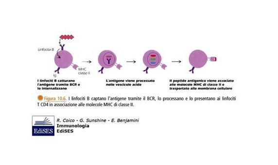 """Processamento e presentazione dell'antigene da parte dei linfociti B. Immagine modificata da """"Immunologia"""" di Coico et al., Casa Editrice Edises."""