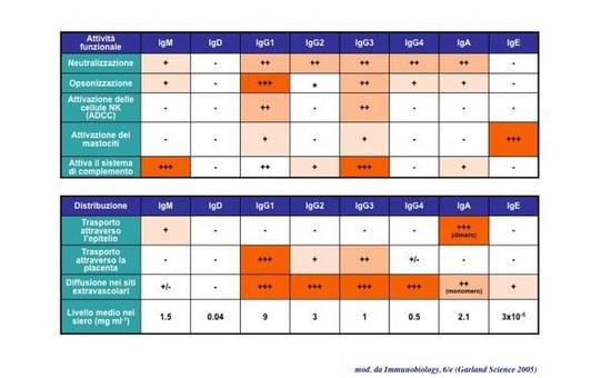 """Le funzioni e la distribuzione tissutale dei diversi isotipi di Ig sono schematizzate in tabella. Immagine modificata da """"Immunobiology"""" di Janeway et al., Casa Editrice Garland."""