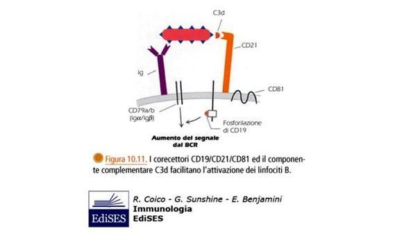 """Meccanismi di attivazione dei linfociti B. Immagine modificata da """"Immunologia"""" di Coico et al., Casa Editrice Edises."""