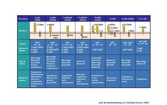 """La struttura, le funzioni e la distribuzione tissutale dei diversi isotipi di FcR sono schematizzate in tabella. Immagine modificata da """"Immunobiology"""" di Janeway et al., Casa Editrice Garland."""