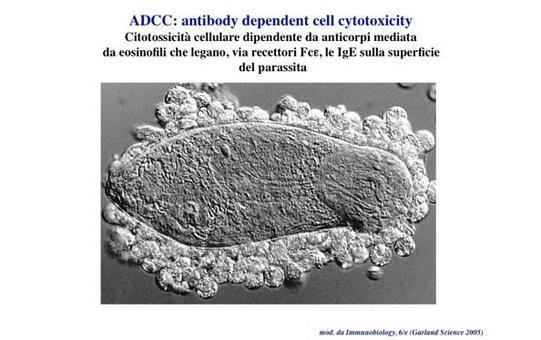 """Un parassita ricoperto da IgE viene riconosciuto ed eliminato dagli eosinofili. Immagine modificata da """"Immunobiology"""" di Janeway et al., Casa Editrice Garland."""