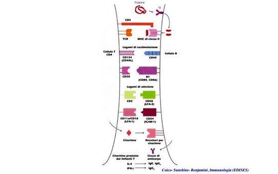 """Molecole coinvolte nell'interazione cellula T- cellula B: la sinapsi immunologica. Immagine modificata da """"Immunologia"""" di Coico et al., Casa Editrice Edises."""