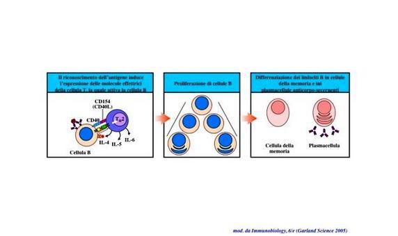 """Conseguenze dell'attivazione del linfocita B: espansione clonale e differenziazione terminale in plasmacellula o cellula B della memoria. Immagine modificata da """"Immunobiology"""" di Janeway et al., Casa Editrice Garland."""