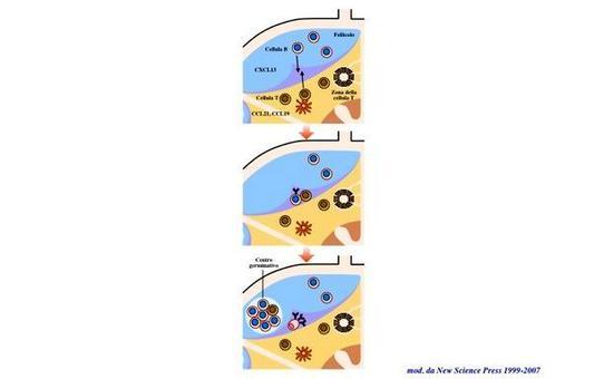 """I follicoli della zona corticale dei linfonodi sono le principali sedi della risposta immunitaria  adattativa umorale. Immagine modificata da """"Immunity"""" di De Franco et al., Casa Editrice Oxford University Press."""
