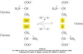 Fig. 2 Formazione di un ponte disolfuro. Immagine tratta da: D.L. Nelson, M.M. Cox, I principi di biochimica di Lehninger, Zanichelli, 4a edizione, 2006, traduzione di P. Capini, E. Regola, revisione di E. Melloni, F. Salamino.