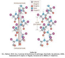 Fig. 2  La struttura alfa-elica. (D.L. Nelson, M.M. Cox, I  principi di biochimica di Lehninger, Zanichelli,  4a edizione, 2006, traduzione di P. Capini, E. Regola, revisione di E. Melloni, F. Salamino)