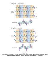 Fig. 3 La struttura secondaria a foglietto beta-ripiegato. (D.L. Nelson, M.M. Cox, I  principi di biochimica di Lehninger, Zanichelli,  4a edizione, 2006, traduzione di P. Capini, E. Regola, revisione di E. Melloni, F. Salamino)