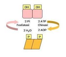 Fig. 3 Regolazione dell'attività enzimatica mediante fosforilazione/defosforilazione