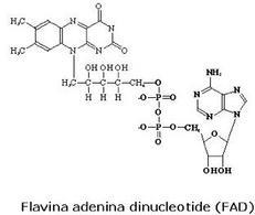 Fig. 3 Struttura del flavina adenina dinucleotide (FAD)