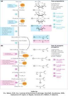 Fig. 2 Le due fasi della glicolisi (D.L. Nelson, M.M. Cox, I  principi di biochimica di Lehninger, Zanichelli, 4a edizione, 2006, traduzione di P. Capini, E. Regola, revisione di E. Melloni, F. Salamino)