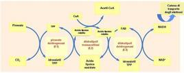 Fig. 4 Meccanismo di azione del complesso della piruvato deidrogenasi