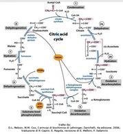 Fig. 5 Reazioni del ciclo dell'acido citrico. D.L. Nelson, M.M. Cox, I  principi di biochimica di Lehninger, Zanichelli,  4a edizione, 2006, traduzione di P. Capini, E. Regola, revisione di E. Melloni, F. Salamino