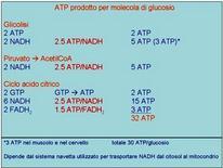 Fig. 8 Molecole di ATP prodotte durante l'ossidazione completa di una molecola di glucosio