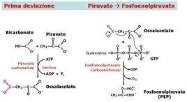 Fig. 3 Sintesi di fosfoenolpiruvato da piruvato; questa reazione avviene nei mitocondri