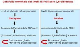 Fig. 7 Regolazione ormonale dei livelli di fruttosio 2,6-bisfosfato