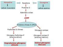 Fig. 12 Controllo cooordinato della degradazione  e della sintesi del glicogeno