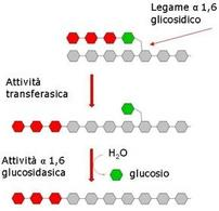Fig. 4 Azione dell'enzima deramificante