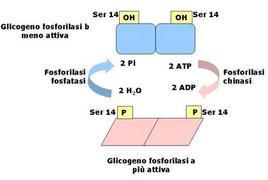 Fig. 6 Regolazione della glicogeno fosforilasi mediante fosforilazione