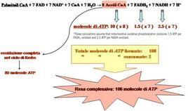 Fig. 13 Reazione globale e bilancio energetico della degradazione ossidativa del palmitato