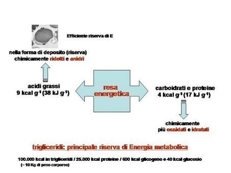 Fig. 4 I triacilgliceroli rappresentano la principale forma di riserva energetica dell'organismo.