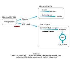 Fig. 8 Destino del glicerolo e degli acidi grassi derivanti dalla lipolisi.