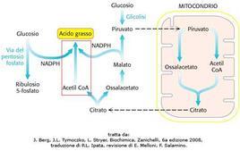 Fig. 12 La sintesi degli acidi grassi comporta la cooperazione tra diverse vie metaboliche