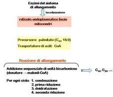 Fig. 13 Reazioni di allungamento della catena carboniosa sul substrato palmitoil-CoA.