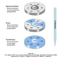 Fig. 6 Il complesso multienzimatico dell'acido grasso sintasi