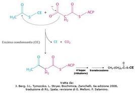 Fig. 7 Meccanismo di allungamento della catena carboniosa sull'enzima condensante