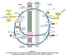 Fig. 10 Recupero citosolico dell'acetil-CoA attraverso il trasporto del citrato