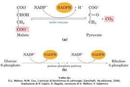 Fig. 11 Generazione di NADPH per la via biosintetica degli acidi grassi