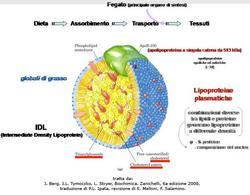 Fig. 10 Struttura di una lipoproteina plasmatica e trasporto dei lipidi