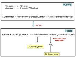 Fig. 9 Il ciclo glucosio-alanina