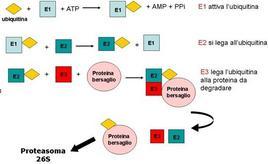 Fig. 4 Il processo di degradazione ubiquitina-dipendente