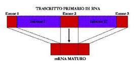 Fig. 13 Maturazione degli RNA messaggeri