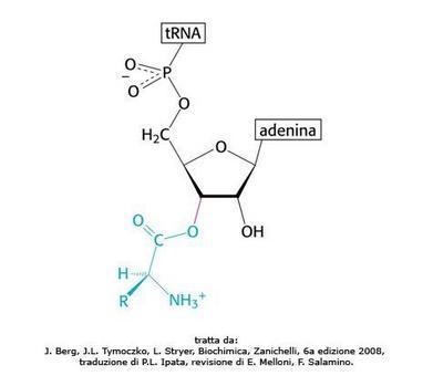 Fig. 18 Amminoacil-tRNA formato mediante la reazione di amminoacilazione catalizzata dalle amminoacil-tRNA sintetasi. Tratta da: J. Berg, J.L. Tymoczko, L. Stryer, Biochimica, Zanichelli, 6a edizione 2008, traduzione di P.L. Ipata, revisione di E. Melloni, F. Salamino.