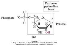 Fig. 1 Struttura di un nucleotide