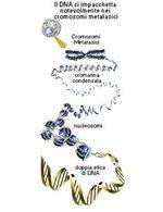 Fig.10 Compattamento delle molecole di DNA: formazione della cromatina nucleare e dei cromosomi