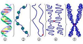 Fig. 11 Livelli di condensazione del DNA