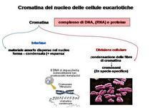 Fig. 12 Differenti stati di condensazione delle cromatina  nucleare durante le fasi del ciclo cellulare