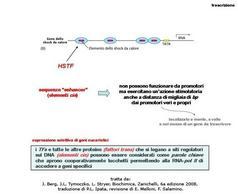 Fig. 20 Elementi enhancer e attivazione della trascrizione