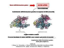 Fig. 2 RNA polimerasi procariotica ed eucariotica