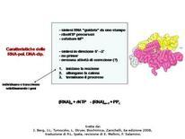 Fig. 3 Proprietà delle RNA polimerasi DNA-dipendenti