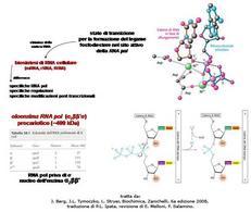 Fig. 5 Catalisi della RNA polimerasi e allungamento della catena di RNA