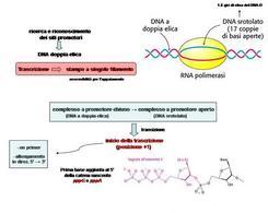 Fiigura 11 Formazione della bolla di trascrizione e inizio della sintesi di RNA