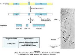 Fig. 1 Processo di maturazione del pre-rRNA eucariotico ad opera dei processomi