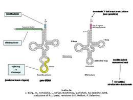 Fig. 2 Maturazione dei tRNA eucariotici