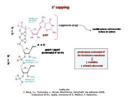 Fig. 4 Il cappuccio al 5′ dei trascritti di pre-mRNA