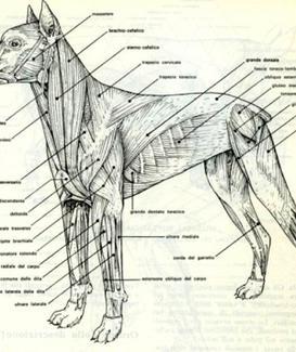 Muscoli scheletrici del cane