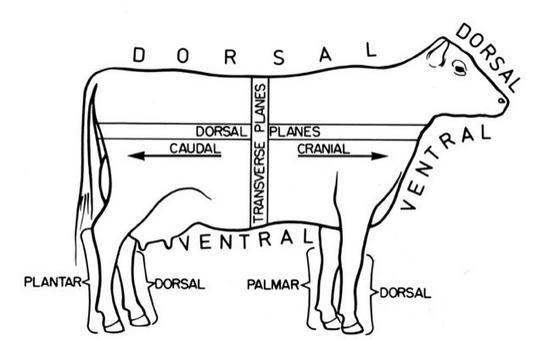 Bovino in posizione anatomica